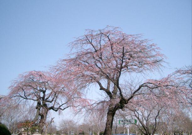 桜9(変換後).jpg